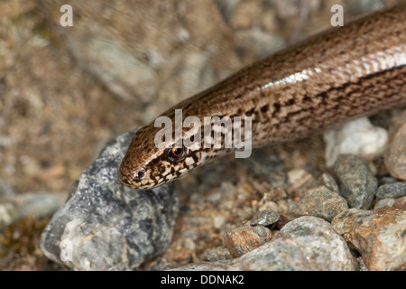 European slow worm, blindworm, Blindschleiche, Blind-Schleiche, Schleiche, Anguis fragilis, Portrait, Porträt - Stock Photo