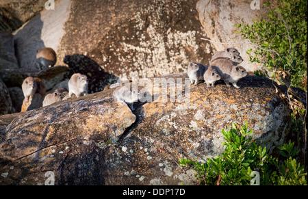 Rock hyrax (Procavia capensis) family group in Serengeti, Tanzania, Africa. - Stock Photo