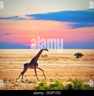 Wildlife - Giraffe running on the savanna at sunset. Safari in Amboseli National Park, Kenya, Africa - Stock Photo