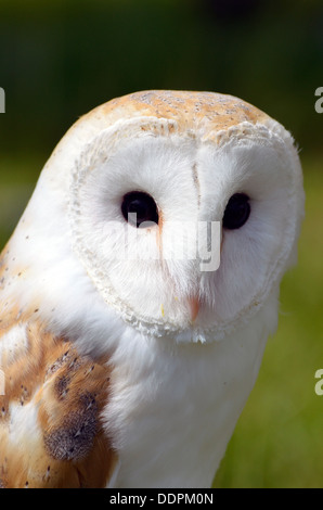 Common Barn Owl (Tyto Alba) -  a captive example used for breeding for reintegration into the wild and for display - Stock Photo
