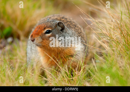 Columbian ground squirrel (Urocitellus columbianus), Banff National Park, Alberta, Canada - Stock Photo