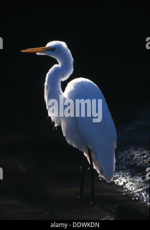 Great egret in Ding Darling National Wildlife Refuge Florida - Stock Photo
