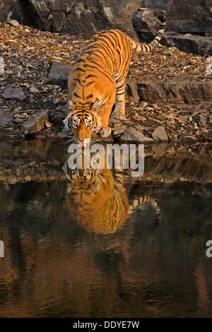 Tiger (Panthera tigris) drinking from a water hole in Ranthambore National Park, Rajasthan, India, Asia, India - Stock Photo