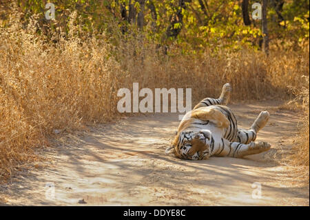 Tiger (Panthera tigris) rolling on his back on a forest track - Stock Photo