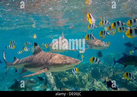 Black-tipped reef sharks (Carcharhinus melanopterus) swimming amidst Pacific Double-saddle Butterflyfish (Chaetodon - Stock Photo