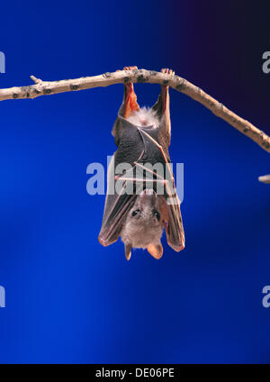 Fruit Bat or Flying Fox (Pteropus medius) resting by hanging upside down on a branch - Stock Photo