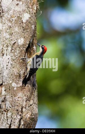 Black-cheeked Woodpecker (Melanerpes pucherani), male, Braulio Carrillo National Park, Costa Rica, Central America - Stock Photo