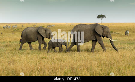 African Bush Elephant (Loxodonta africana), group with newborn calf wandering landscape with stormy sky - Stock Photo