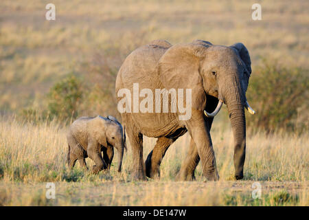 African elephant (Loxodonta africana), cow and calf at the first light of dawn, Masai Mara National Reserve, Kenya, - Stock Photo