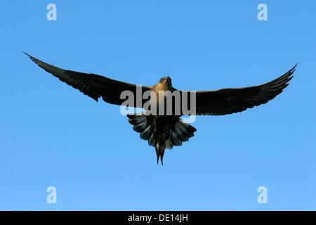 Parasitic Jaeger, Arctic Skua or Parasitic Skua (Stercorarius parasiticus), flying, Flatanger, Nordtrondelag, Norway - Stock Photo