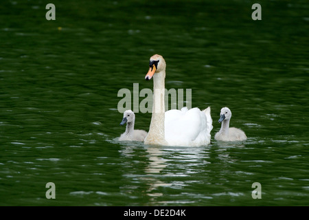 Mute Swan (Cygnus olor) swimming with two cygnets on Wichelsee lake, Sarnen, Switzerland, Europe - Stock Photo