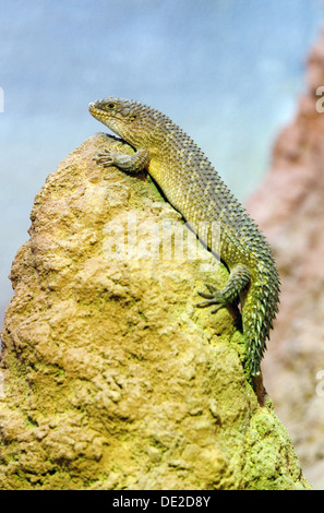 A Gidgee Skink, Egernia Stokesii, an Australian reptile or lizard - Stock Photo