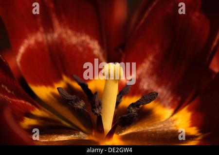 Tulip pistil (Tulipa), close-up of blossoming tulip - Stock Photo