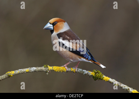 Hawfinch (Coccothraustes coccothraustes), male, perched on a branch covered in lichen, Neunkirchen, Siegerland - Stock Photo