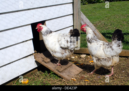 Two free range egg-laying hens in a chicken farm. - Stock Photo