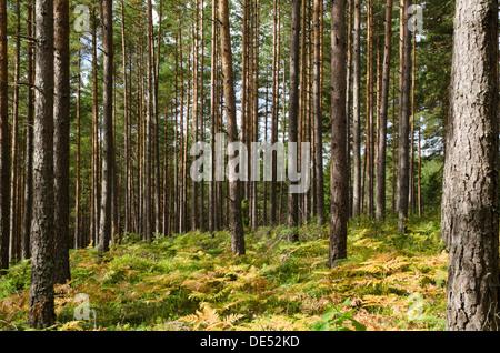 Golden bracken in a pine forest - Stock Photo