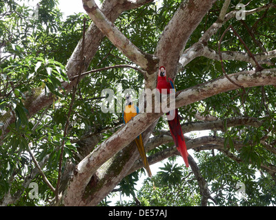 Scarlet Macaw (Ara macao) and a Blue-and-Yellow Macaw or Blue-and-Gold Macaw (Ara ararauna) perched on a tree - Stock Photo