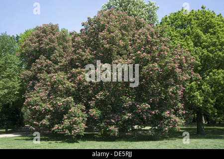 Red Horse Chestnut, Aesculus × carnea - Stock Photo