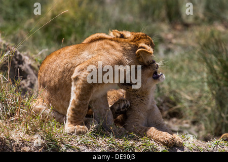 Cute Lion Cubs showing affection, (Serengeti) - Stock Photo