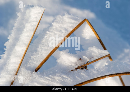 White hoar frost / hoarfrost forming on grass stems pointing in same direction due to the wind in winter - Stock Photo