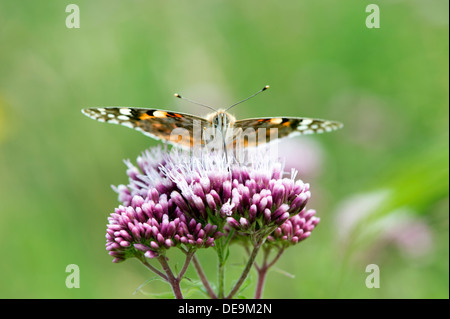 Painted lady butterfly (Cynthia cardui) UK - Stock Photo