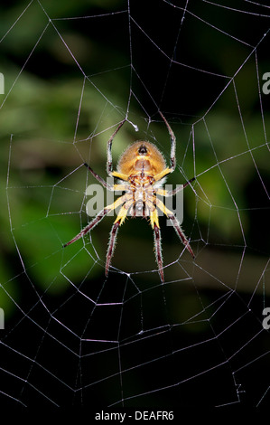 Orb-weaver spider (Araneidae) in warning coloration sitting in the center of a web, Tiputini, rainforest, Yasuni - Stock Photo