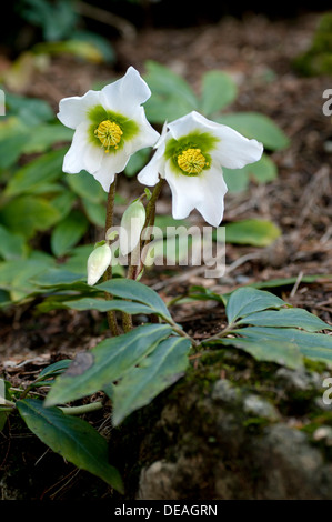 Christmas Roses or Black Hellebore (Helleborus niger) blooming in winter, Geneva, Genf, Switzerland - Stock Photo