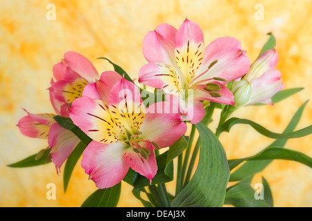 Peruvian Lily or Lily of the Incas (Alstroemeria) - Stock Photo