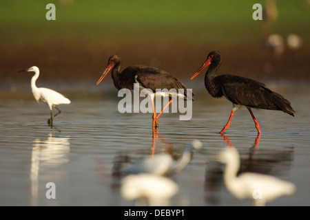 The Black Stork (Ciconia nigra) is a large wading bird in the stork family Ciconiidae. - Stock Photo
