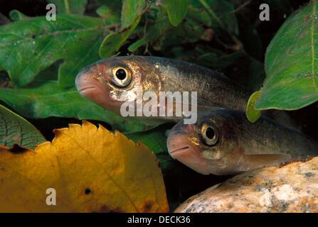 Freshwater Rivers Galicia Spain Iberian nase Chondrostoma duriensis - Stock Photo