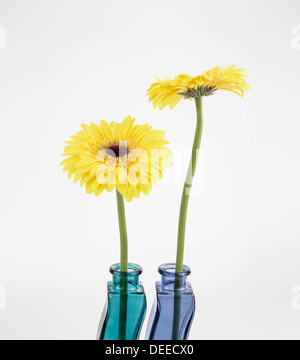 Two yellow Gerberas in colorful glass vases - Stock Photo