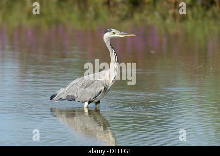 Grey Heron (Ardea cinerea), seeking fish, Maschwanden, Canton of Zurich, Switzerland - Stock Photo