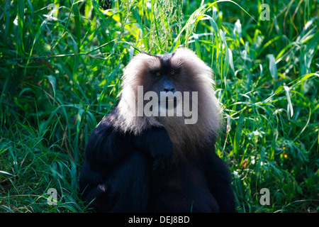 Lion-tailed macaque - Stock Photo