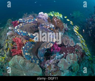 Giant clam in coral reef, Raja Ampat, Indonesia. - Stock Photo