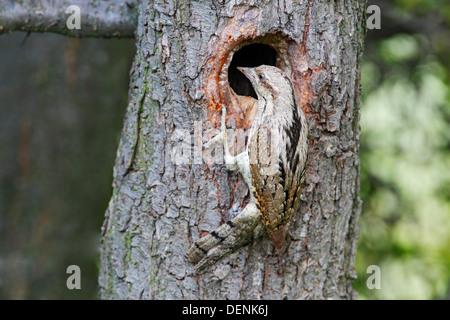 Eurasian wryneck (Jynx torquilla) adult at nest hole in tree, Bulgaria, Europe - Stock Photo