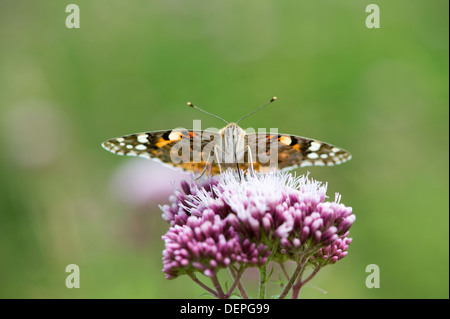 Painted lady butterfly (Cynthia cardui) - UK - Stock Photo