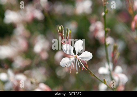 Starry flowers of Gaura lindheimeri with long anthers on summer day - Stock Photo