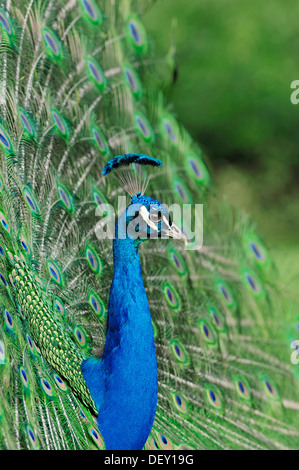 Indian Peafowl or Blue Peafowl (Pavo cristatus), male plumage during a courtship display, native to India - Stock Photo
