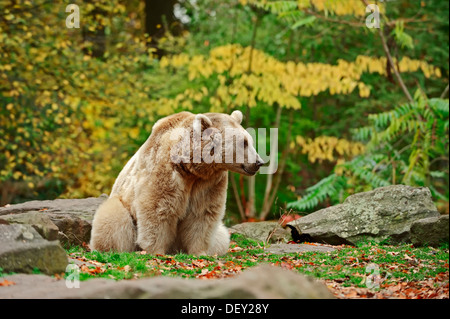 Syrian Brown Bear (Ursus arctos syriacus), native to the Caucasus, in captivity - Stock Photo