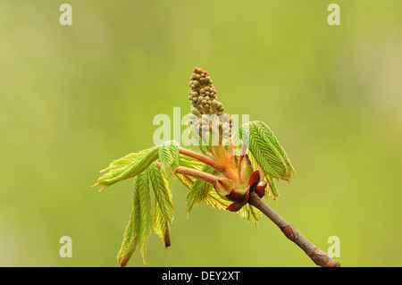 Horse Chestnut (Aesculus hippocastanum), leaves and flower buds, North Rhine-Westphalia - Stock Photo
