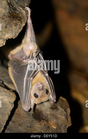Egyptian fruit bat or Egyptian rousette (Rousettus aegyptiacus), male, native to Africa and the Arabian Peninsula, - Stock Photo