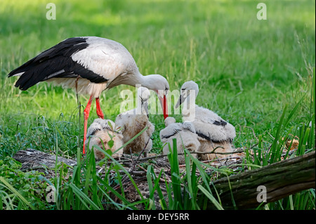 White Stork (Ciconia ciconia) with chicks in the nest, North Rhine-Westphalia, Germany - Stock Photo