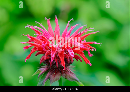 Wild bergamot or Bee Balm (Monarda fistulosa, hybrid), flowering, North Rhine-Westphalia, Germany - Stock Photo