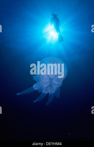 Diver and Jellyfish (Rhizostoma pulmo) - Stock Photo