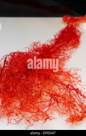 Plastination specimen of arteries of arm - Stock Photo