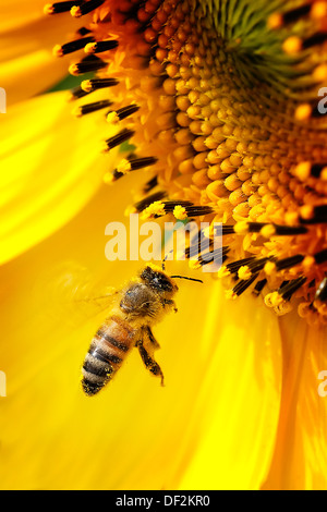 Close-up Of Sunflower With Honeybee - Stock Photo