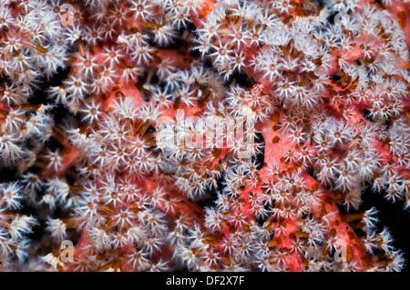 Pink soft coral Siphonogorgia godeffroyi with polyps clustered on the end of the branches  Acoel flatworms Waminoa - Stock Photo