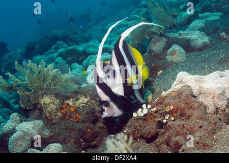 Longfin bannerfish Heniochus acuminatus  Bali, Indonesia - Stock Photo
