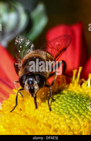 Close up of a bee taking pollen from a dahlia - Stock Photo