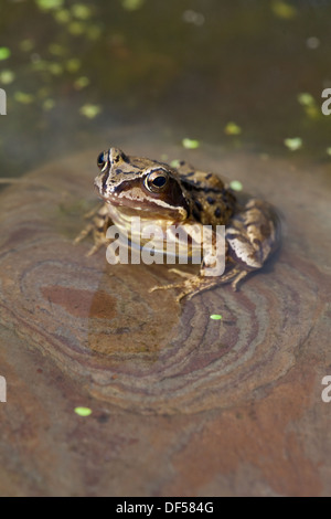 European Common, Brown or Grass Frog (Rana temporaria). Sitting on a stone in shallow water at the edge of of a - Stock Photo